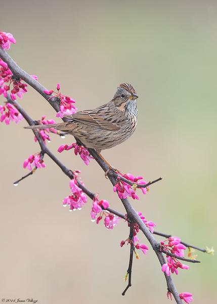 Lincoln's Sparrow, Melospiza lincolnii