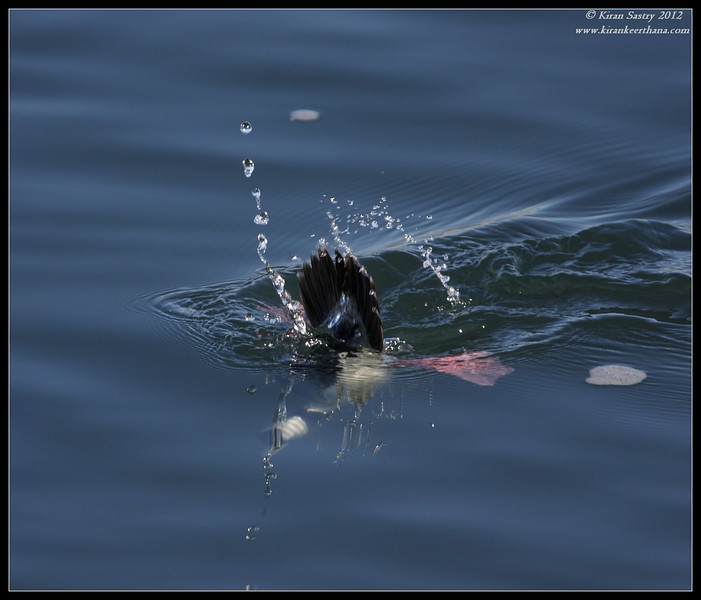 Male Bufflehead diving for food, Robb Field, San Diego River, San Diego County, California, February 2012