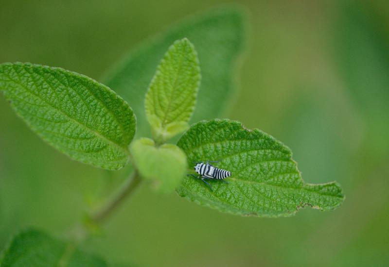Leaf hopper eating the oregano