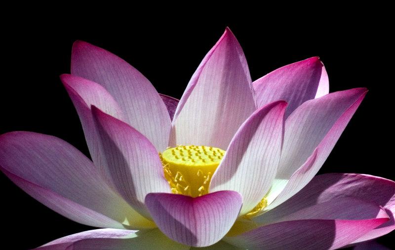 sacred lotus flower.jpg