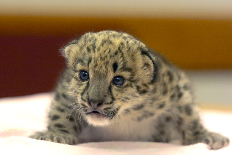 Description of . A baby snow leopard  crawls on a blanket in Mayor Martin Chavez' conference room in Albuquerque, N.M. The baby snow leopard was born at the Albuquerque Bio Park.  (AP Photo/The Albuquerque Journal, Pat Vasquez-Cunningham) **