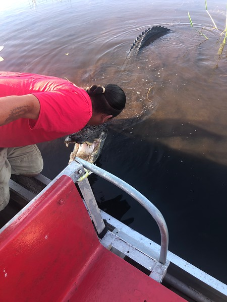 Gator approaching our airboat in the Everglades.