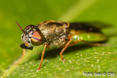 Green-bellied Soldier Fly