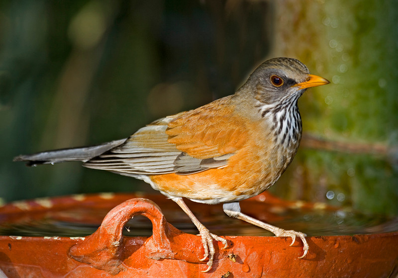 Rufus-backed Robin.jpg