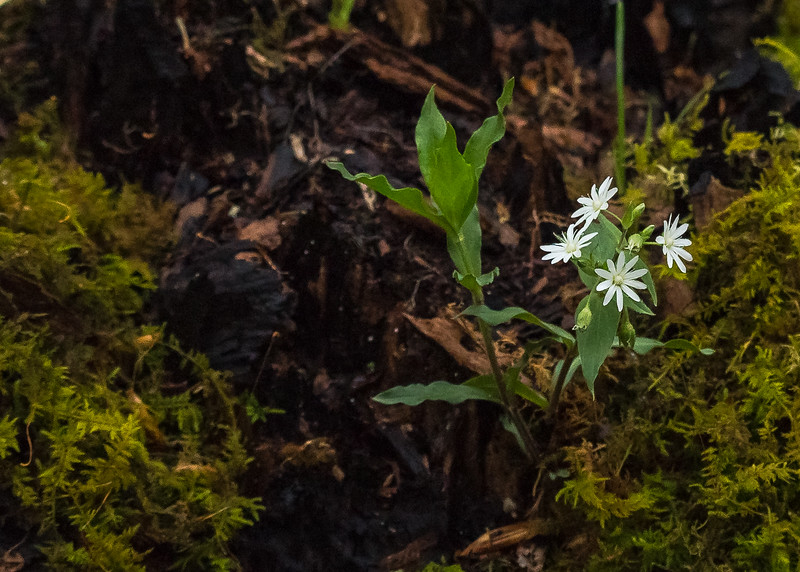 Star Chickweed (Stellaria pubera) at Falling Springs Bird Sanctuary, French Lick, IN