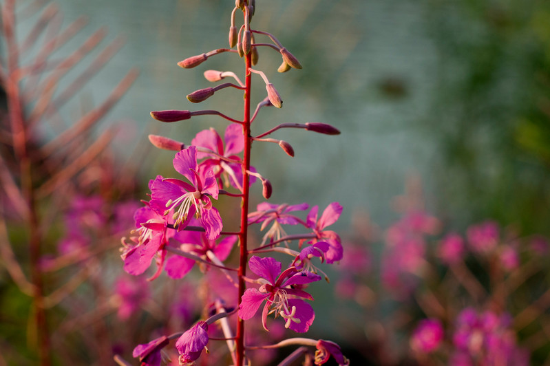 Rosebay Willowherb in Ruissalo, Finland