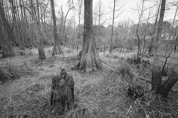 Dry Cypress