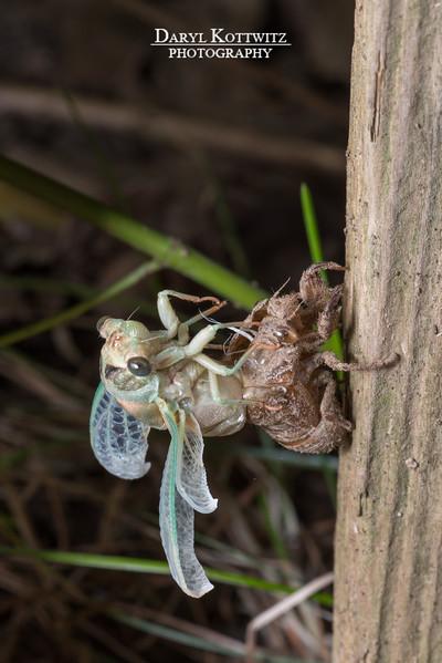 The Emerging Cicada