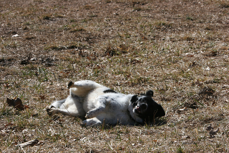 Bessie loves to roll in the grass