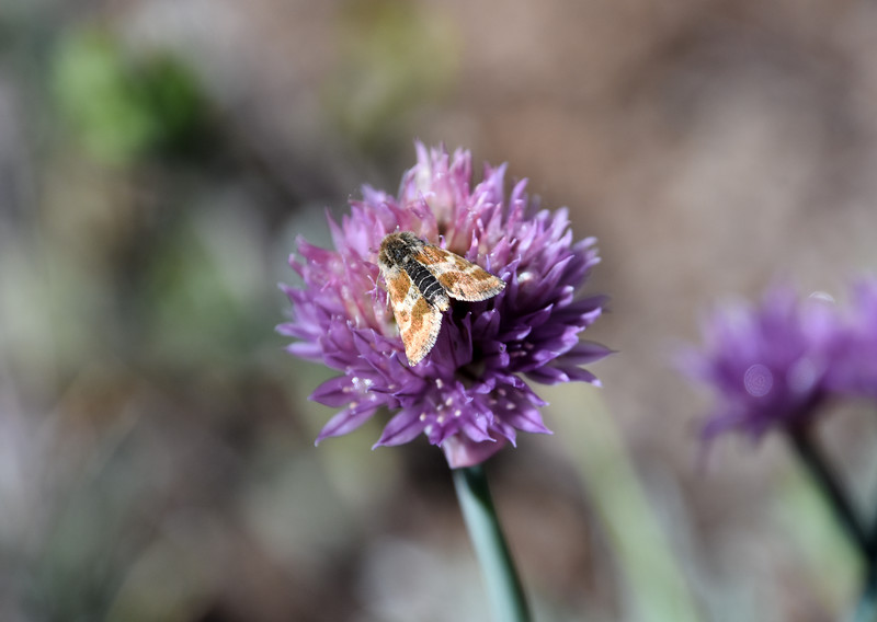 Independence-Pass-Colorado-onion-moth.jpg