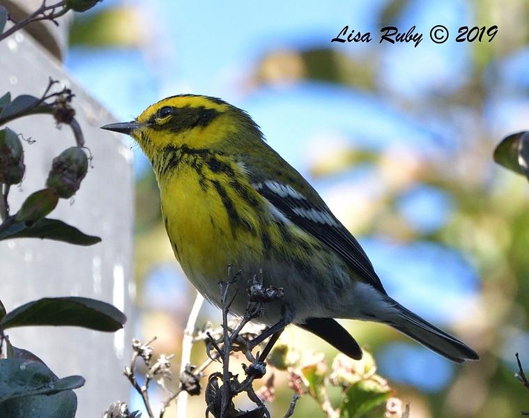 Townsend's Warbler  - 12/01/2019 - Lindo Lake