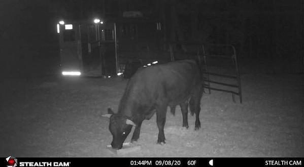 beefalo-py-091529_4.2