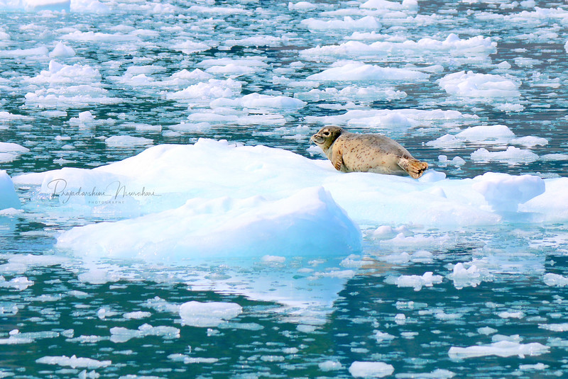 Chilling on a piece of history; Baby seal resting on a million old glacier ice!!