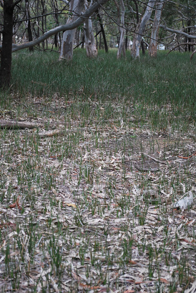 Effect of Kangaroo Grasing on Sword Sedge.JPG