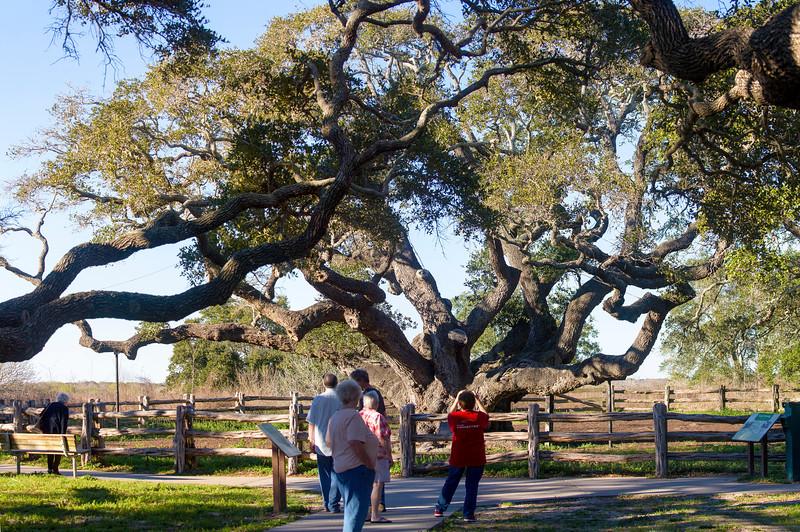 "We visit Goose Island's ""Big Tree""..."