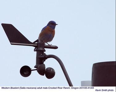 WesternBluebirdM41305.jpg