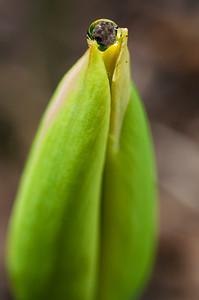 Tulip's Kiss 2