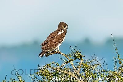 Black-chested Snake-Eagle, Kenya