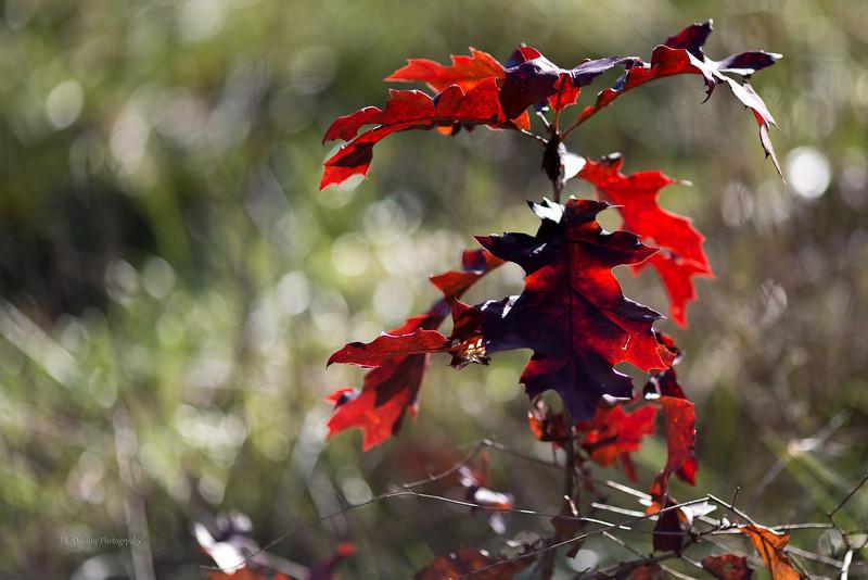 Red Autumn at Maple Ridge Tall Pine State Preserve, Mantua, New Jersey