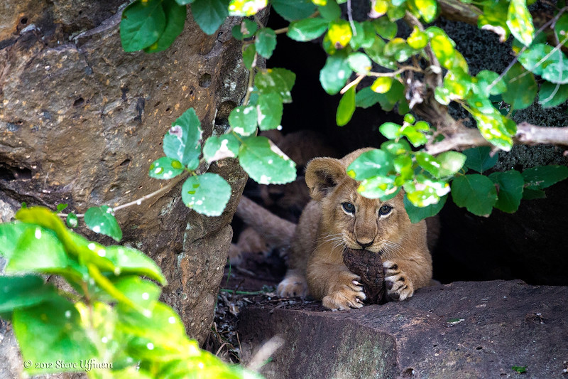 Lion Cub in safely tucked in Leopard Gorge-.jpg