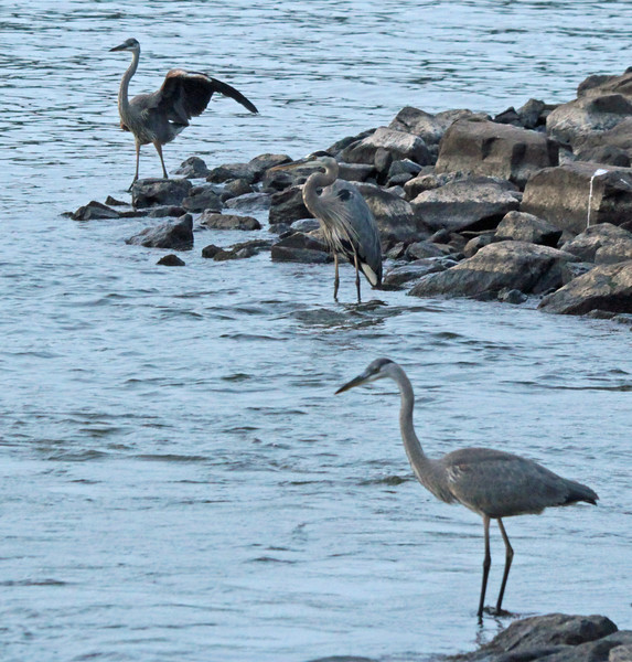Three great blue herons