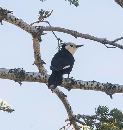 White-headed Woodpecker 5-5-18