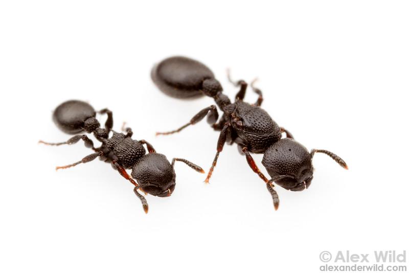 Procryptocerus hylaeus, worker (left) and queen.  Monte Verde, Minas Gerais, Brazil