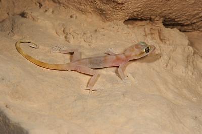 Gallagher's Leaf-toed Gecko