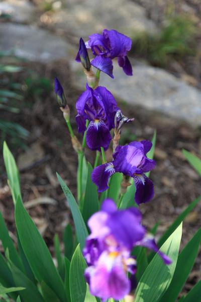 2013_05_12 Spring Flowers 004.jpg