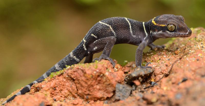 Deccan-banded-Gecko.jpg