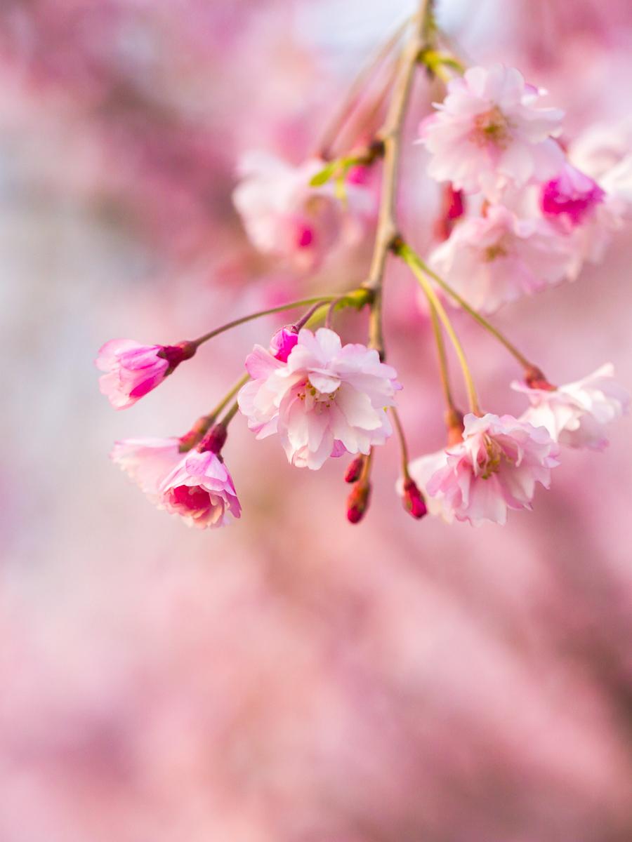 初春的樱花