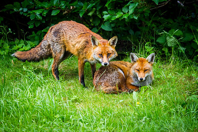 Foxes in my garden