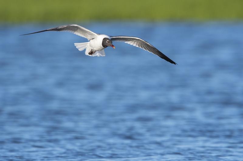 Laughing Gull in Flight Two.jpg