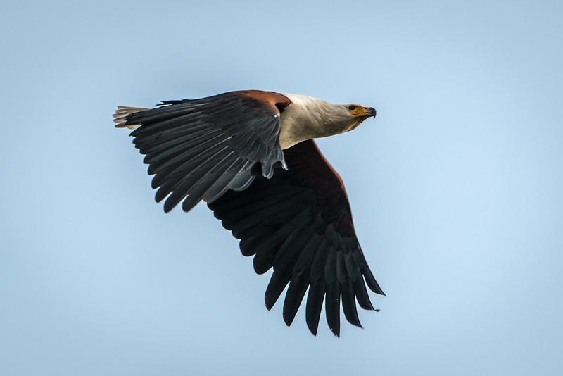 African Fish Eagle-5340.jpg