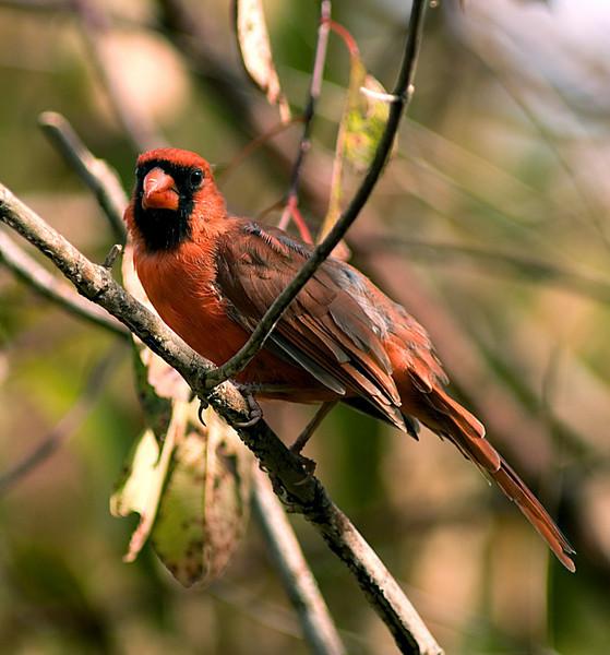 Male Cardinal   Farbach-Werner Nature Preserve
