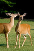 White-tailed deer playing with each other in a grassy field. Photography fine art photo prints print photos photograph photographs image images artwork.