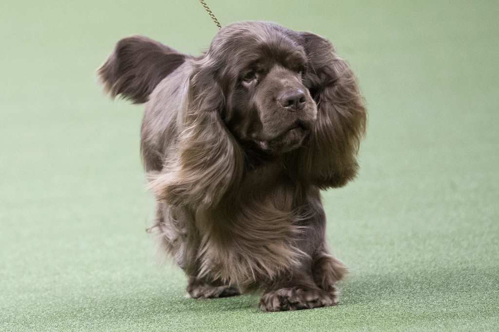 . Bean, a Sussex spaniel, competes in the sporting group during the 142nd Westminster Kennel Club Dog Show, Tuesday, Feb. 13, 2018, at Madison Square Garden in New York. Bean won best in sporting group. (AP Photo/Mary Altaffer)