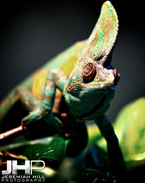 """Chameleon #2"", Toronto Zoo, 2013 Print JP13-99-400"