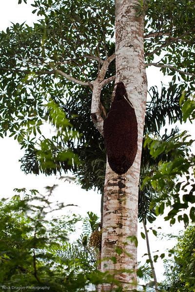 A termite nest in the rain forest of Peru.