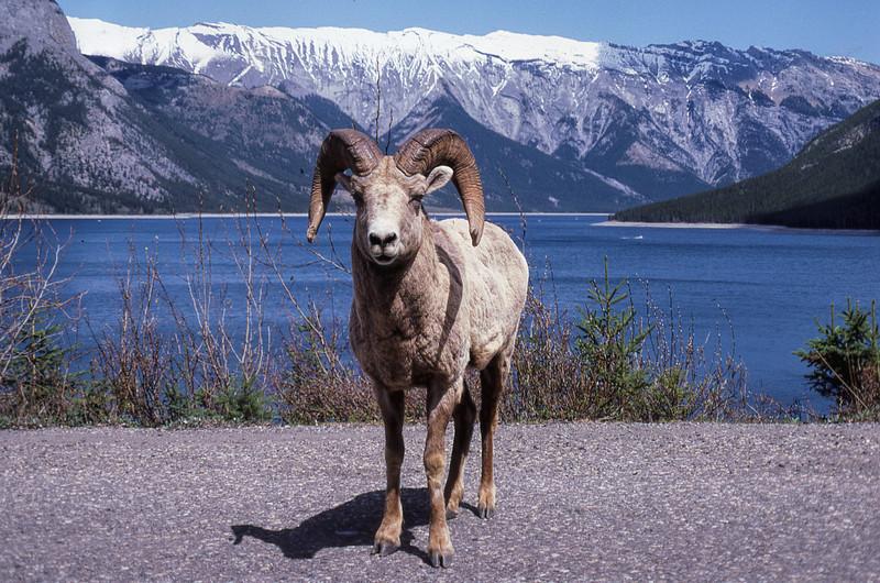 BIGHORN SHEEP - ALBERTA