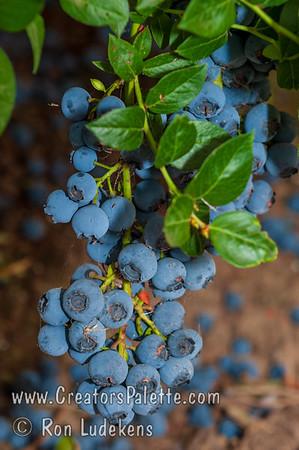 Northland Blueberry (Vaccinium corymbosum x)