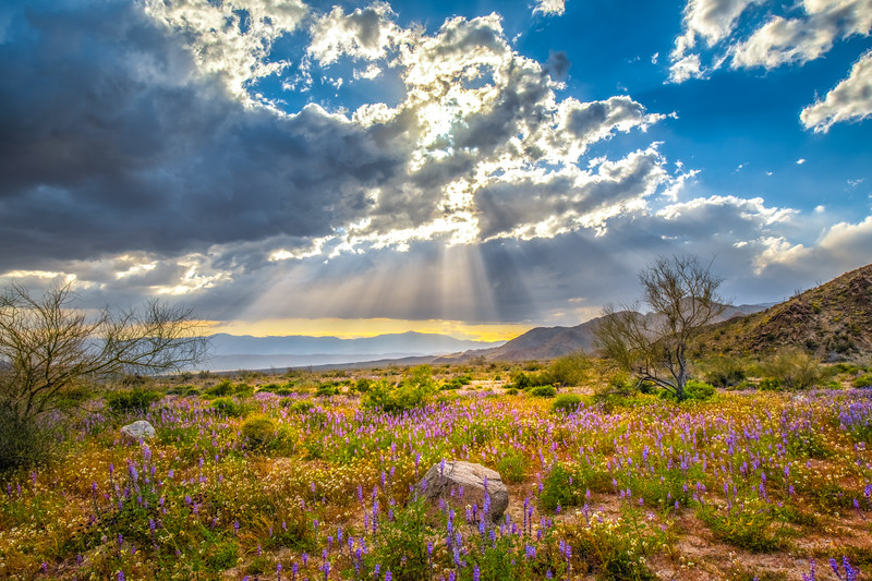Joshua Tree Spring Symphony #6: Joshua Tree Wildflowers Superbloom: Joshua Tree National Park Fine Art Landscape Nature Photography  Elliot McGucken Fine Art Photography Prints & Luxury Wall Art