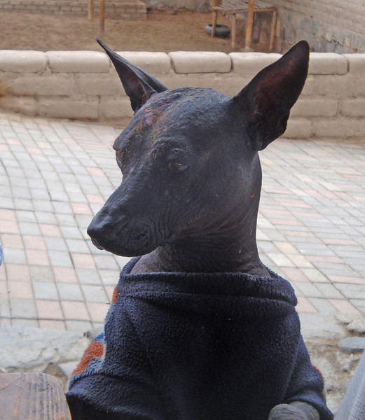 An Inca dog. They were bred to be hairless, so sometimes wear blankets.