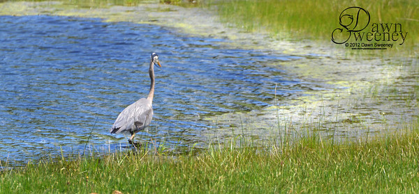 may 2012 blue heron