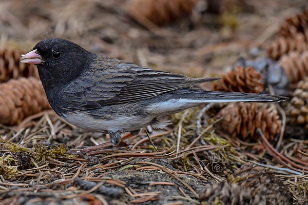 5-30-19 Dark-eyed Junco - Jasper Ab