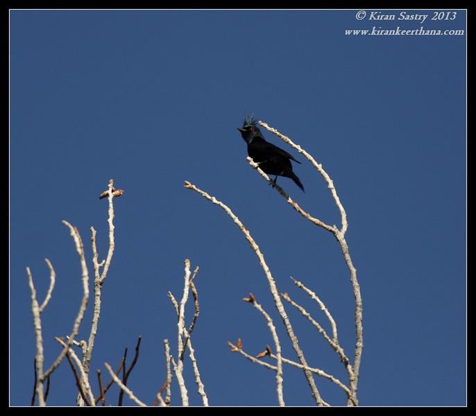 Phainopepla, Covington Park, Morongo Valley, Riverside County, California, May 2013