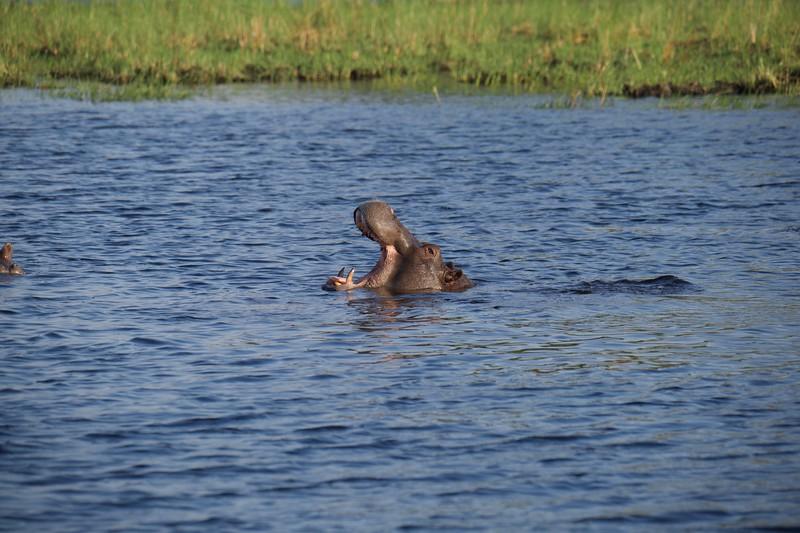 Hippo smiling!, Shinde camp, Botswana