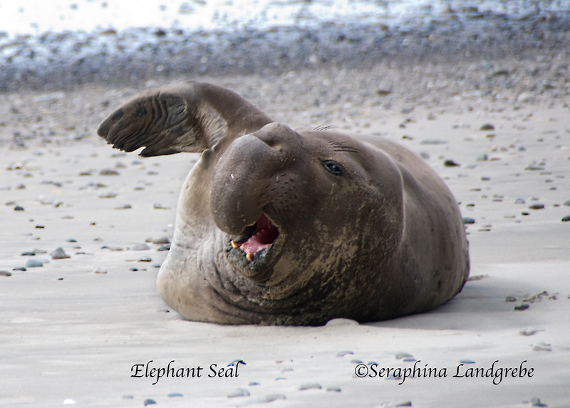 _DSC0316Elephant Seal Wave.jpg