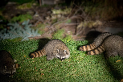 Bandits Visit Garden