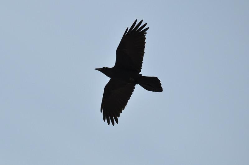 Common Raven (2).JPG